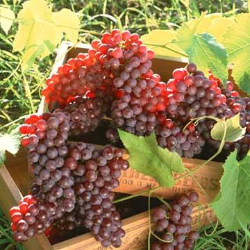 انگور _ Vitis vinifera